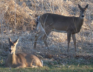 Spring Deer 2011