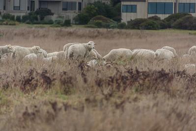TSR Lambs