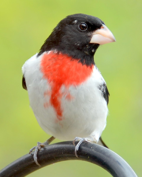Rose-breaster Grosbeak Male