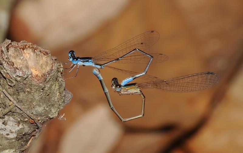 Nehallenia pallidula (Everglades Sprite)