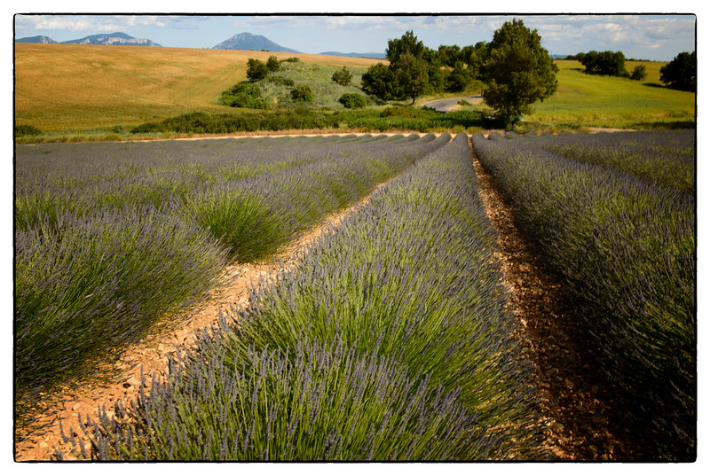 lavender 1 trees road.jpg