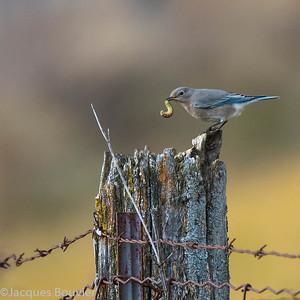 SONGBIRDS 1 - LES OISEAUX CHANTEURS 1