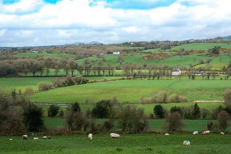 Marked Sheep; Clonakilty, Ireland 2017