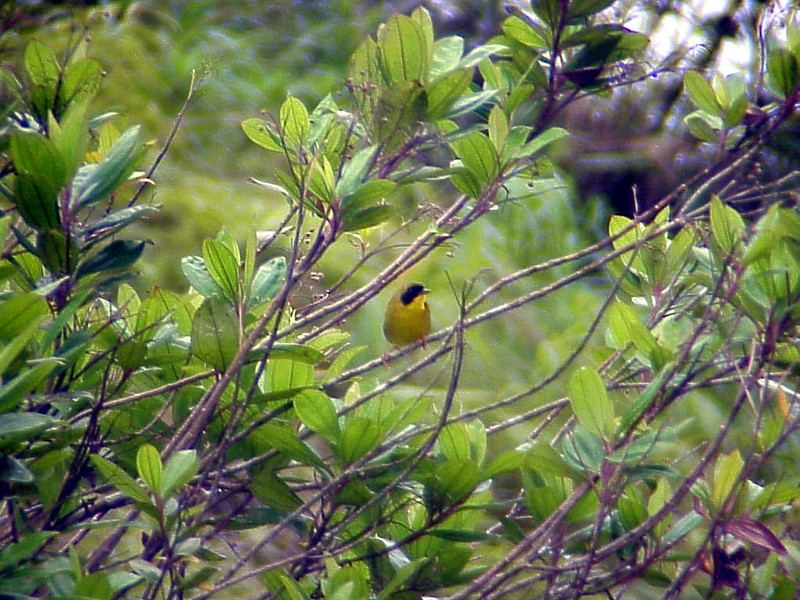Olive-capped Yellowthroat at San Miguel Pond Costa Rica 2-10-03 (50898200)