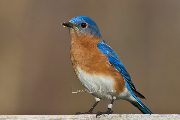 Bluebird Banding
