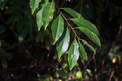 Merisier à grappes (Prunus padus)