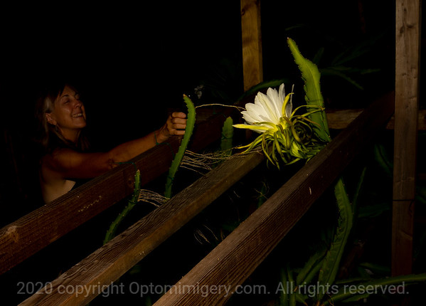 JUNE 15, 2020: DRAGON FRUIT FLOWERS AT NIGHT