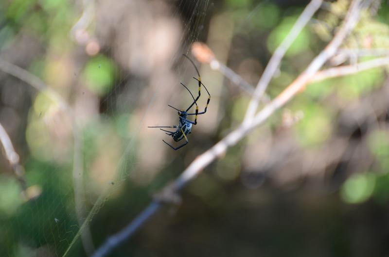 154 - Golden Orb Spider - Zambia - Anne Davis
