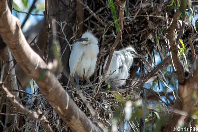 Santa Rosa Egrets