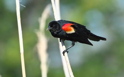 Oropendolas, Orioles & Blackbirds (Family Icteridae)