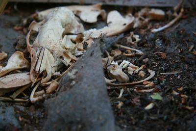 Possum Remains, San Jose, CA (20110919)