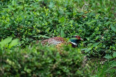 Ring-necked Pheasant [Phasianus colchicus]