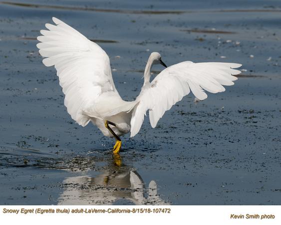 Snowy Egret A107472 .jpg