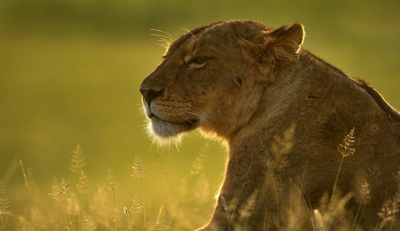 Golden-Queen-Lion-Ngorongoro-1.jpg