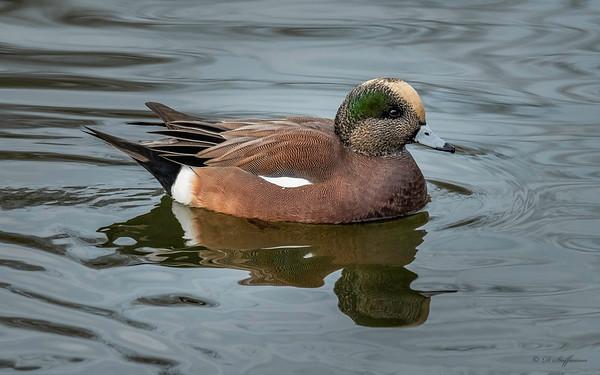 Reifel Bird Sanctuary - November 29, 2018