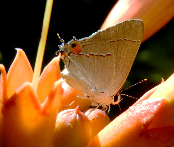 Gray Hairstreak on Trumpet (11).jpg