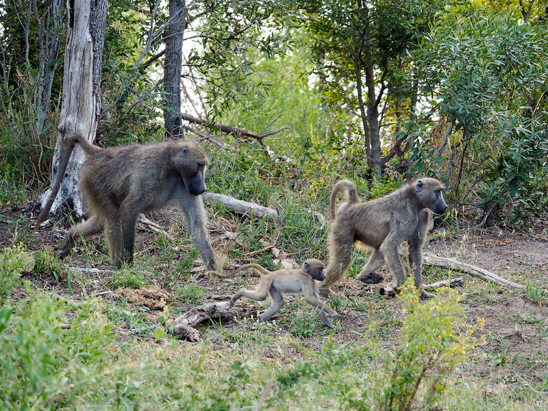 Baboon family in Kruger National Park