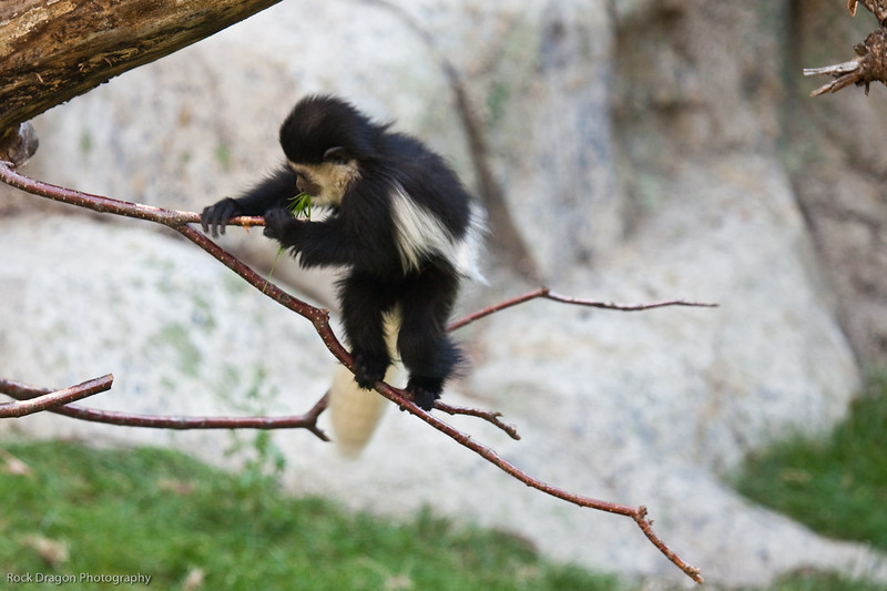 Black & White Colobus, Calgary Zoo, Sept. 30