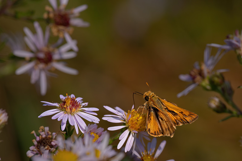 Fiery Skipper (male) at Appleton farms on NY aster
