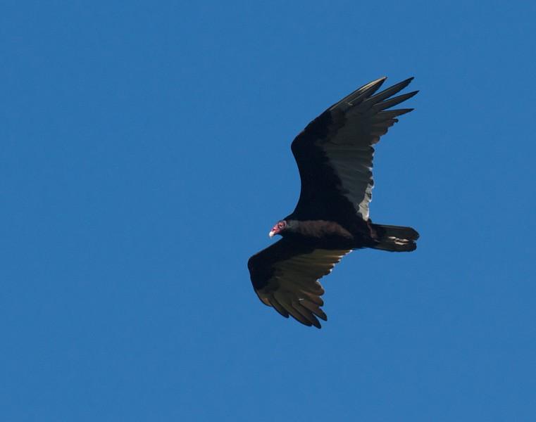 Turkey Vulture Hawk Ridge Duluth MN IMG_0027098.jpg