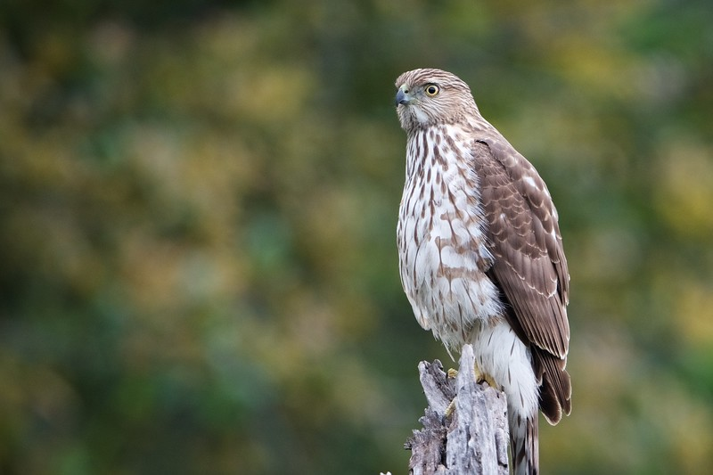 A Cooper's hawk rests on a snag next to the trail, not far from the winery.