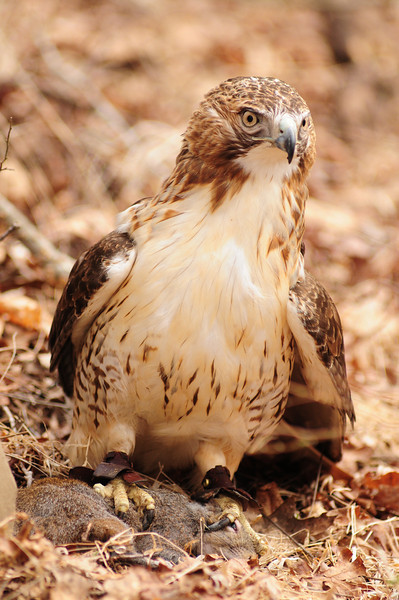 redtail hawk with squirrel kill (2).JPG