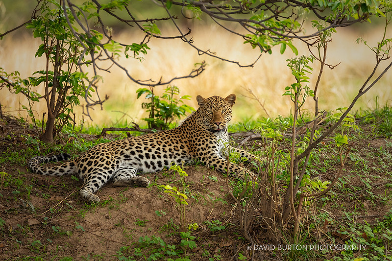 Bili_Leopard_0143cc2fx-web.jpg