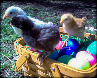 0 0 yyyymmdd (date)chickens at Easter 2.jpg