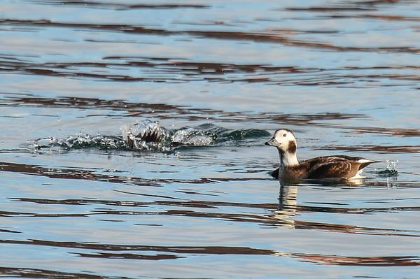 11 2012 Nov 4 Long-Tailed Ducks & A Few Misc.