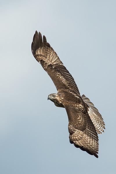 Red-tailed Hawk Brazoria NWR, TX
