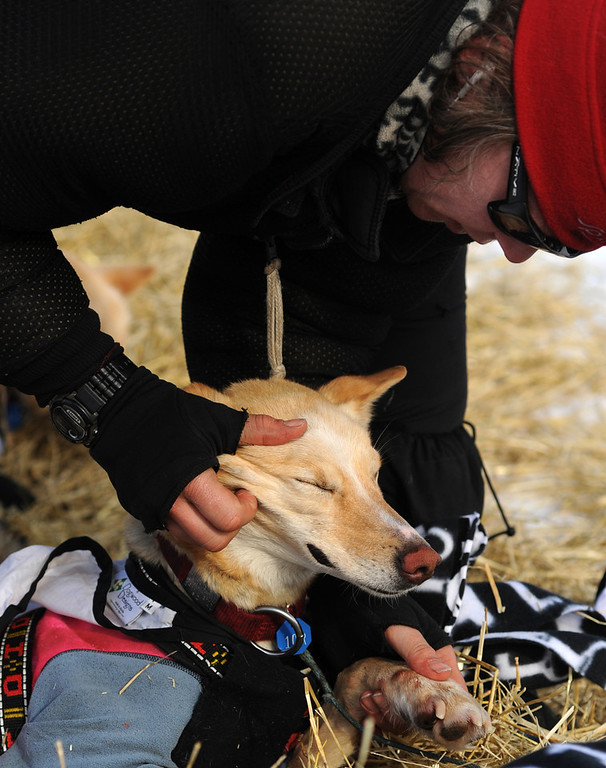 . Iditarod musher Aliy Zirkle, from Two Rivers, Alaska, works with her dog team at the White Mountain checkpoint during the 2014 Iditarod Trail Sled Dog Race on Monday, March 10, 2014. Zirkle has her out time for the checkpoint written on her finger. (AP Photo/The Anchorage Daily News, Bob Hallinen)