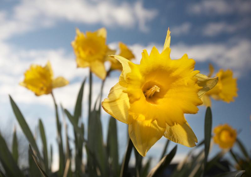 114 - Daffodil - 4868.jpg