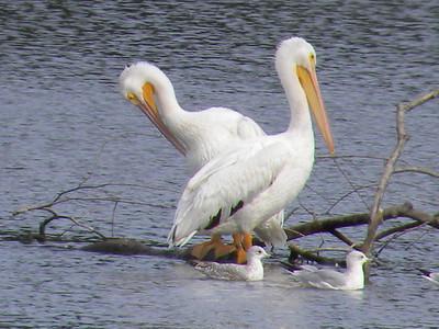 Pelicans - Lake Springfield IL - FALL 2016