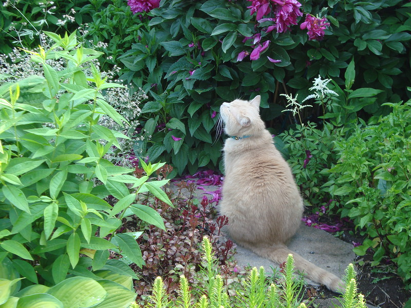 Our cat loves to smell the peonies and astilbes.JPG