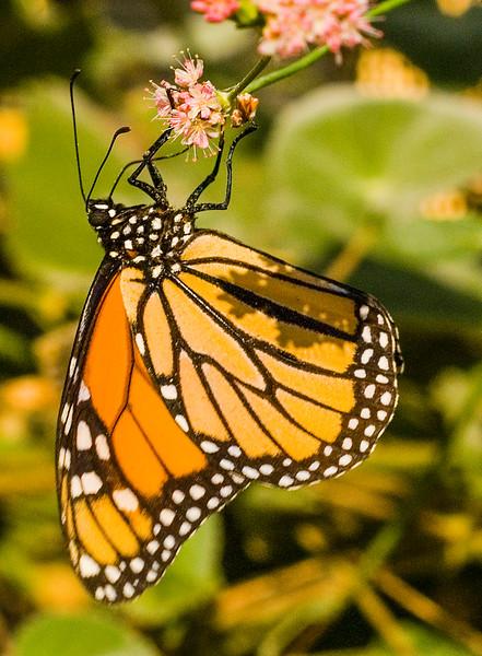 Monarch Butterfly-2.jpg