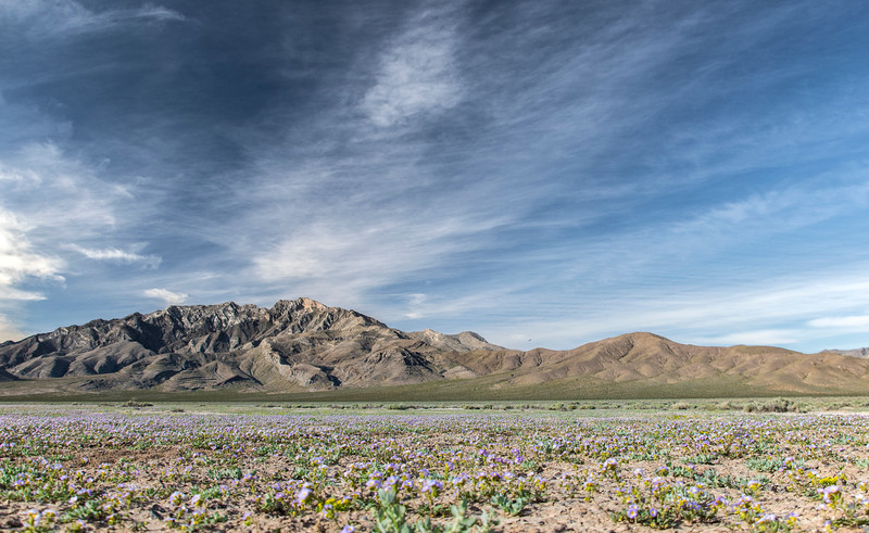 Pahrump-west-toward-DeathValley-Spring-Flowers-April2017c.jpg