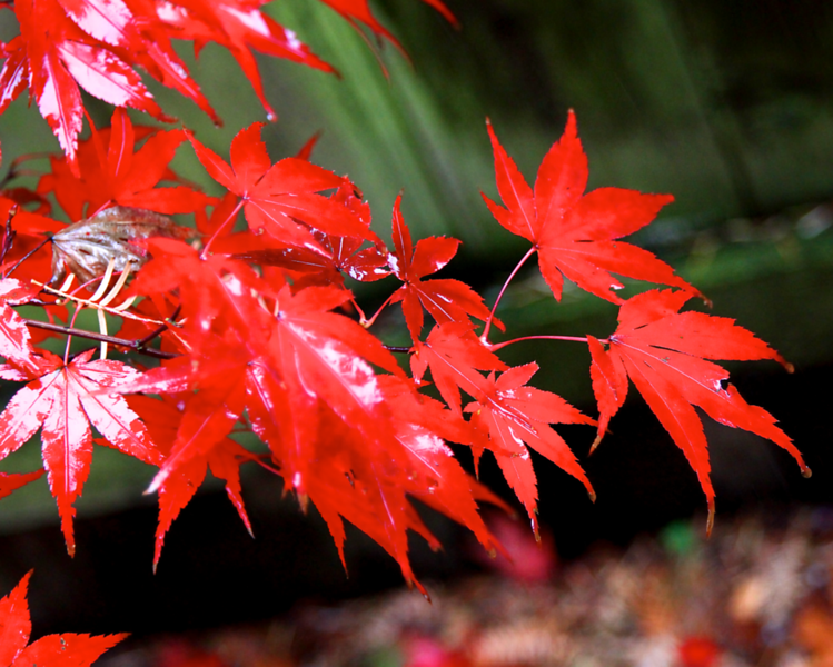 japanese maple  5153.png