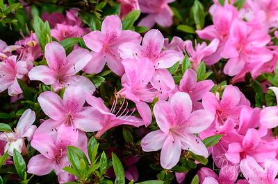 Hulda Klager Lilac Gardens, Woodland WA