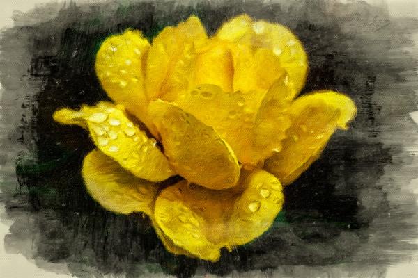 January 5 - Rose afteer a rain.jpg