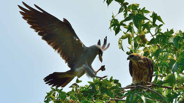 Mississippi Kites Adult and Juvenile in Parkville, Mo