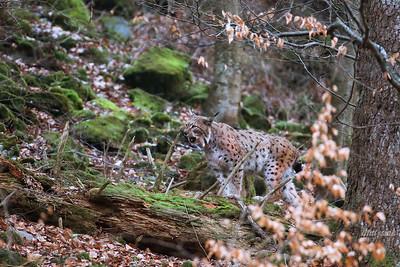 Kotowate / Felidae
