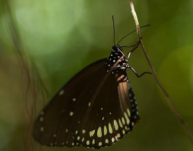 boca butterflies