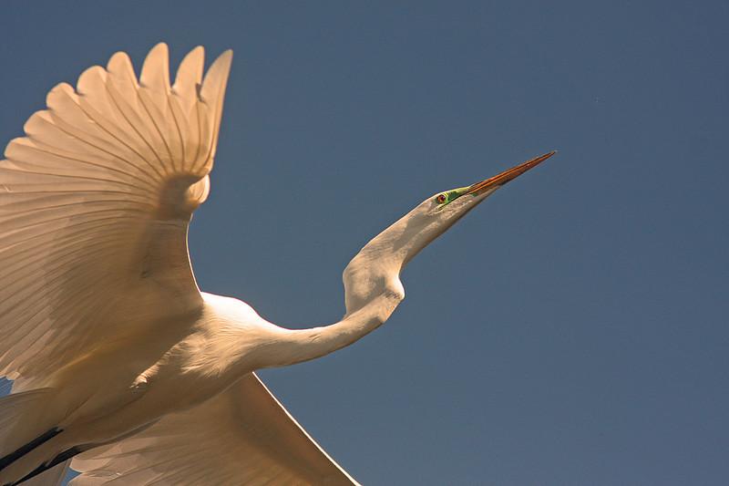 WB~Rookery Egret flightprettywingclose1280.jpg