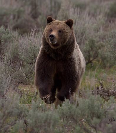 Wildlife - Yellowstone - 2007