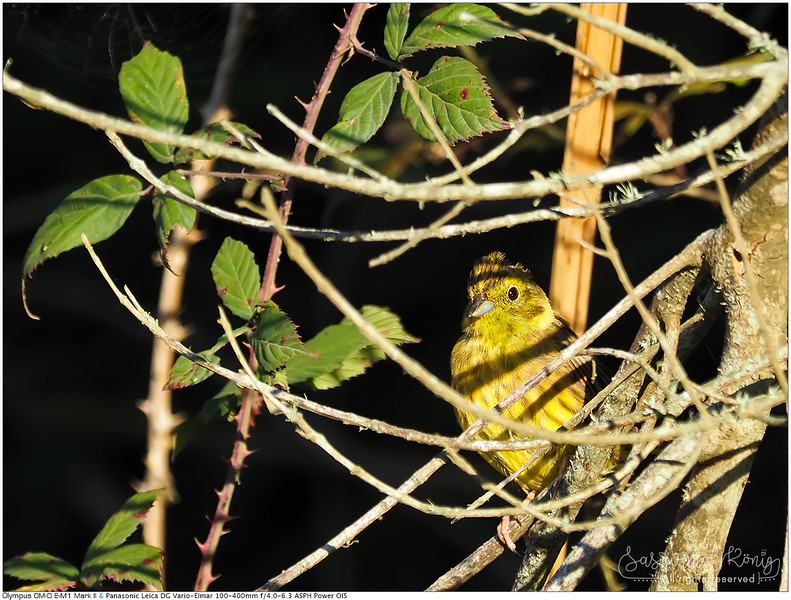 Yellowhammer... hello baby