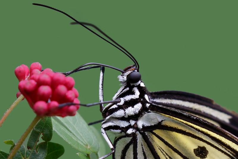 Paper Kite Butterfly-7432.jpg