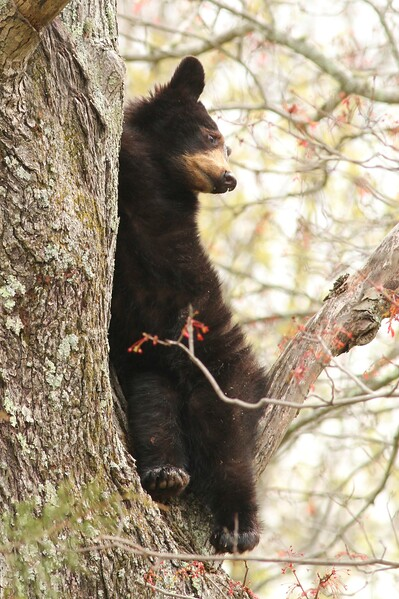 Bear Cub Up Tree