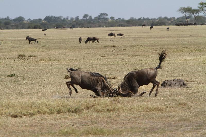 Wildebeast fighting.JPG