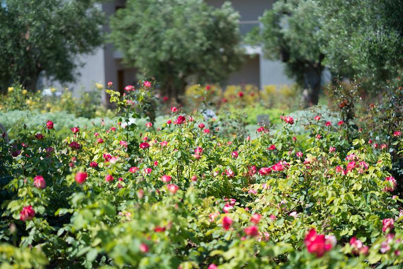 rosesAA.jpg