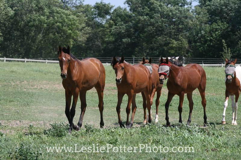 Yearling Arabian Horses